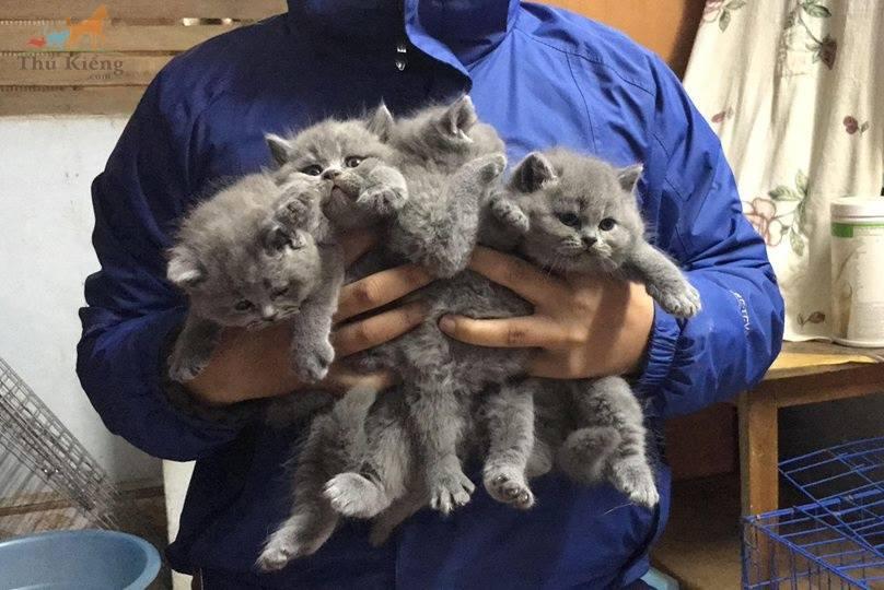 Bán mèo Anh lông ngắn 3-2018. Trả góp lãi suất 0%. BH 15 ngày
