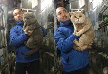 Phối giống mèo Anh lông ngắn. Giá phối giống mèo Aln HN và TPHCM