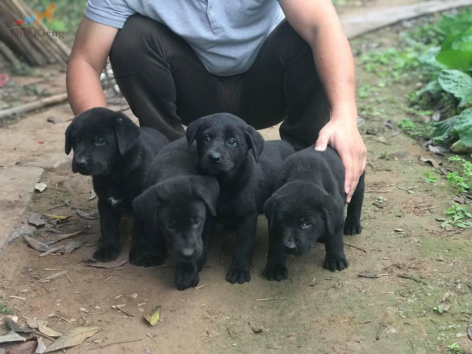 Bán chó Labrador đen phong thủy. Trả góp lãi suất 0%. Bào Hảnh 15 ngày