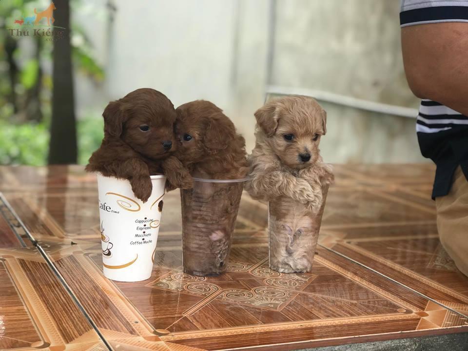 Bán chó Poodle Tiny tháng 3-2018. Trả Góp Lãi Suất 0%. BH 15 ngày