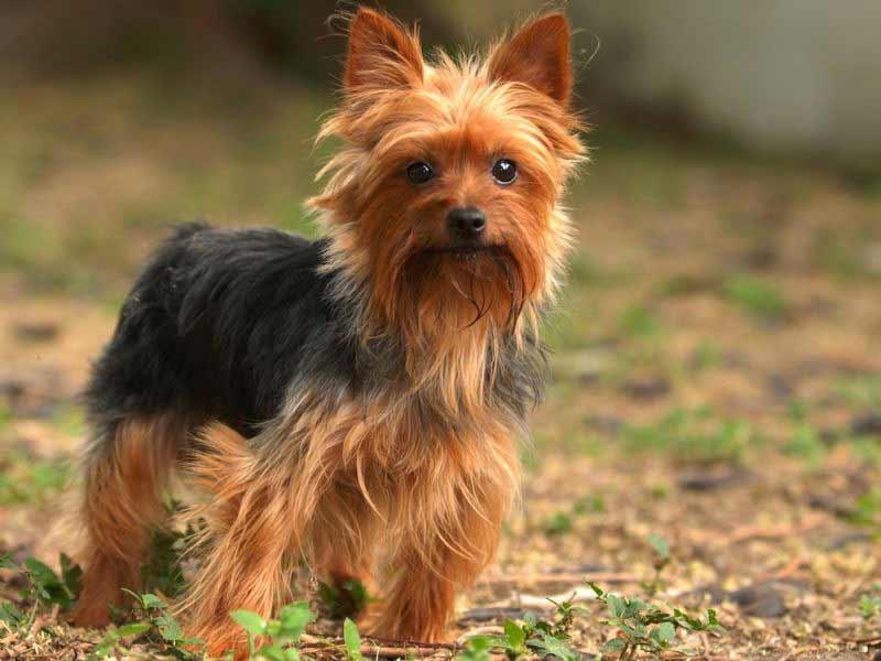 Giá bán chó Yorkshire Terrier. Đặc điểm chó Yorkshire Terrier thuần chủng