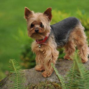 gia-mua-ban-cho-yorkshire-terrier-6