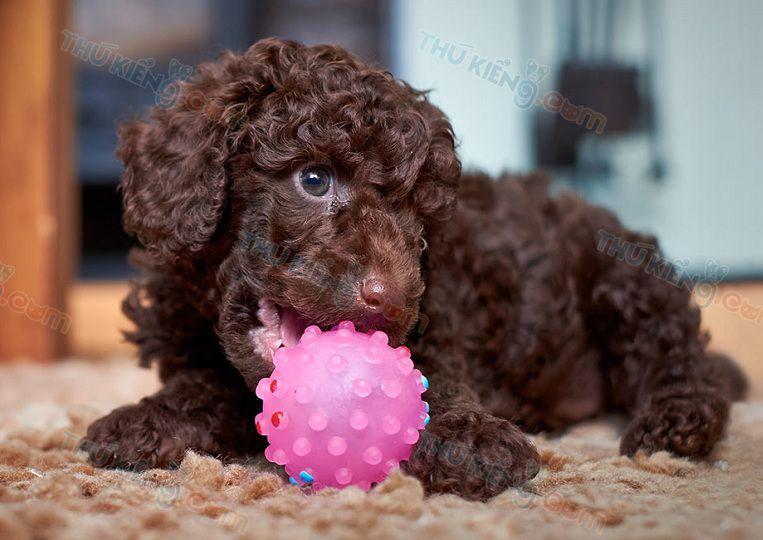 Cách Nuôi Chó Poodle. Chăm Sóc Chó Poodle Con Từ 2 Tháng Tuổi