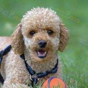 cach-nuoi-cham-soc-cho-poodle-3