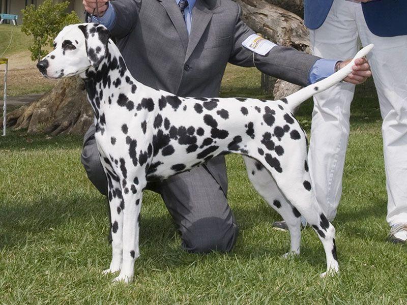 Chó Đốm - Dalmatian: Nguồn Gốc, Đặc Điểm và Giá Mua, Bán Chó Đốm