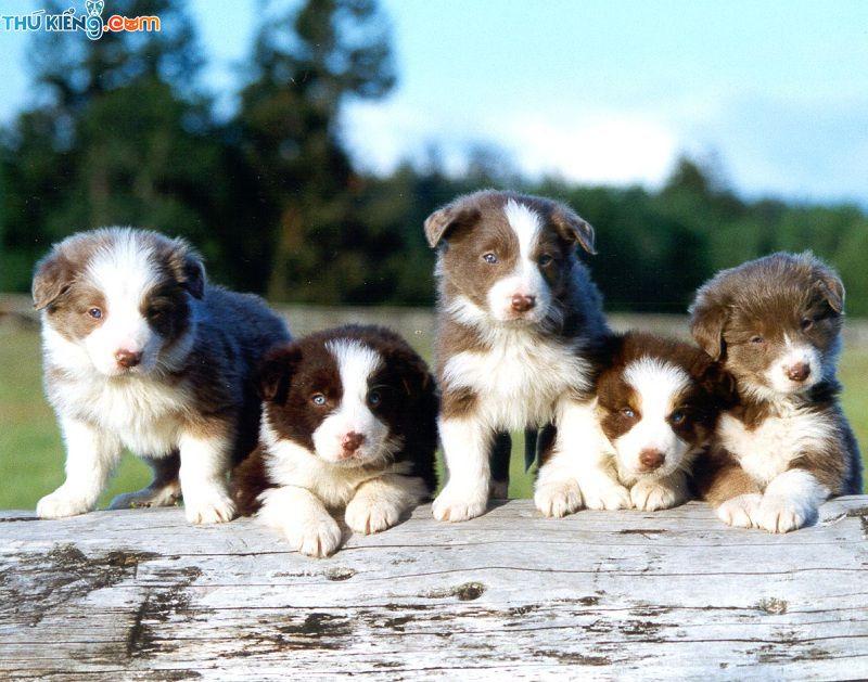 Giá chó Border Collie thuần chủng. Mua bán chó Border Collie tại HN và TPHCM