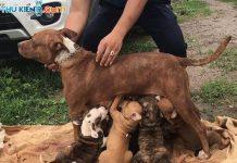 Mua chó Pitbull giá bao nhiêu tiền? Chó Pitbull bao nhiêu tiền một con? Giá chó Pitbull con thuần chủng.Bán chó Pitbull con 2 tháng tuổi thuần chủng.
