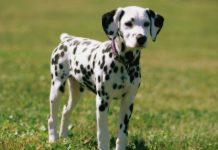 Bảng giá mua bán chó đốm thuần chủng