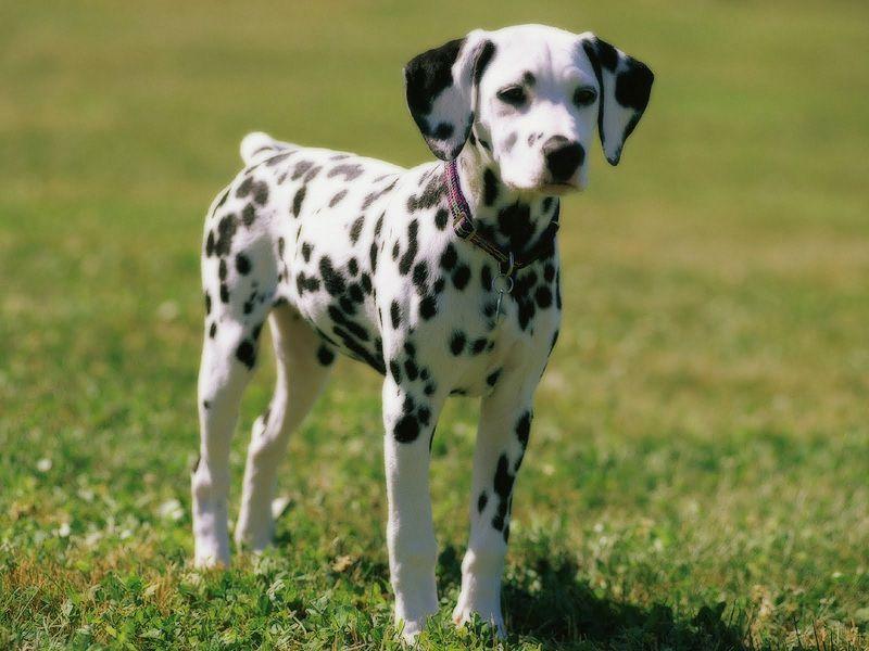 Chó Đốm (Dalmatian): Nguồn Gốc, Đặc Điểm & Giá Mua, Bán Chó Đốm Thuần Chủng