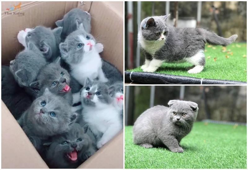 Mua bán mèo Anh lông ngắn giá bao nhiêu tiền? Giá mèo Aln thuần chủng