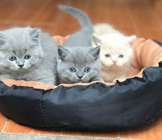 Mèo Anh Lông Dài - ALD: Nguồn Gốc, Đặc Điểm và Giá Mua, Bán Mèo Anh Lông Dài