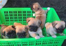 Bảng giá mua bán chó Pug mặt xệ - Thú Kiểng