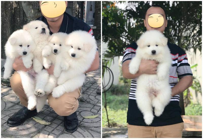 mua chó samoyed giá bao nhiêu tiền? giá bán chó samoyed con