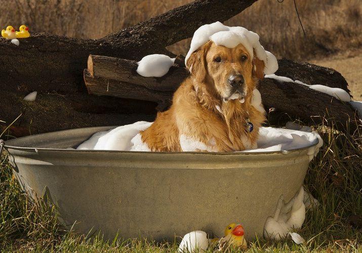 Cách nuôi chó Golden từ 2 tháng tuổi. Nuôi chó Golden có khó không?