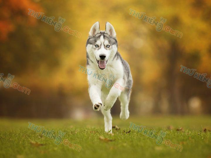 Cách Nuôi Chó Husky ở Việt Nam. Nuôi Chó Husky Có Khó Không?