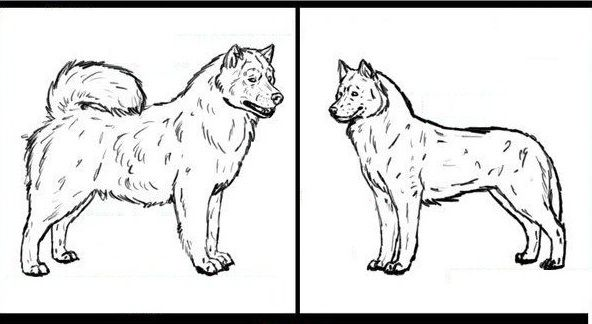 Cách phân biệt chó Alaska và Husky. Chó Alaska khác Husky chỗ nào?