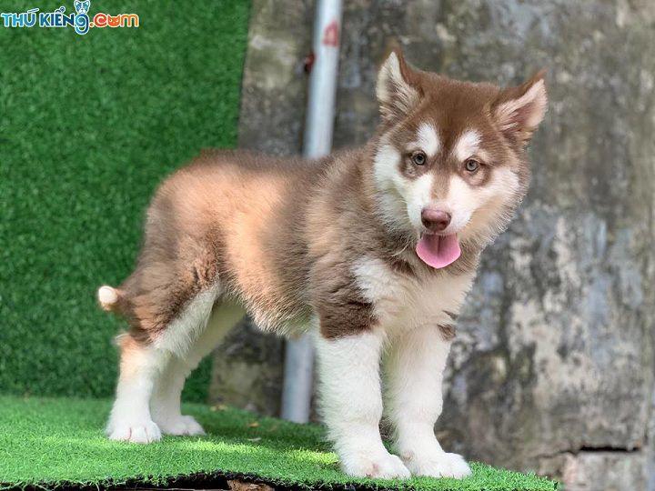 Bảng giá chó Alaska 2019. Giá mua bán chó Alaska Thuần Chủng tại TK