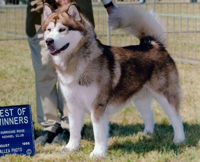 Chó Alaska Thuần Chủng. Cách Nhận Biết Chó Alaska Thuần Chủng