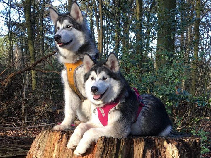 Đặc Điểm Chó Alaska Thuần Chủng. Cách Nhận Biết Chó Alaska Chuẩn