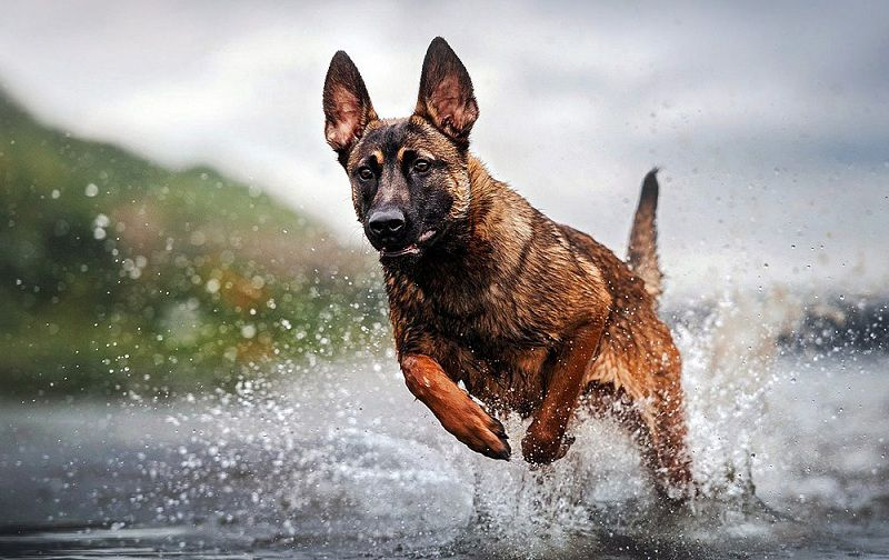 Chó Malinois (Béc Bỉ): Đặc Điểm, Tính Cách và Giá Mua, Bán Chó Béc Bỉ