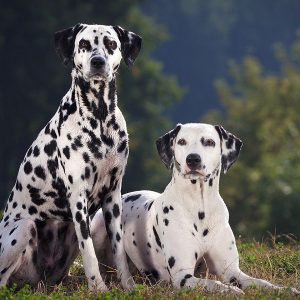 cho-dom-dalmatian-thuan-chung-1