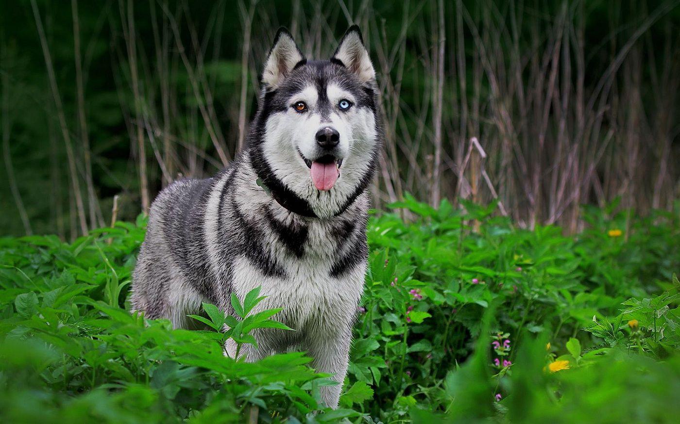 Chó Sói Tuyết Husky Siberian. Đặc Điểm và Nguồn Gốc Chó Husky