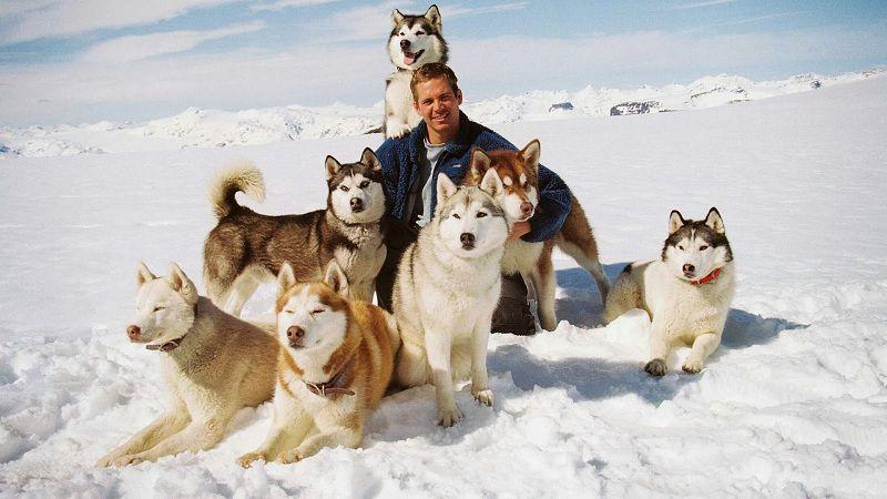 Giống chó Husky: Đặc điểm chó Husky | Giá mua bán chó Husky