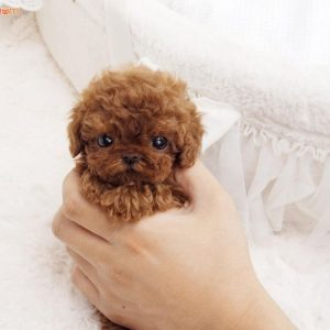 cho-poodle-teacup-tiny-toy