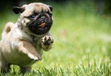 Giống chó Pug mặt xệ - Tính cách chó Pug. Nguồn gốc chó Pug