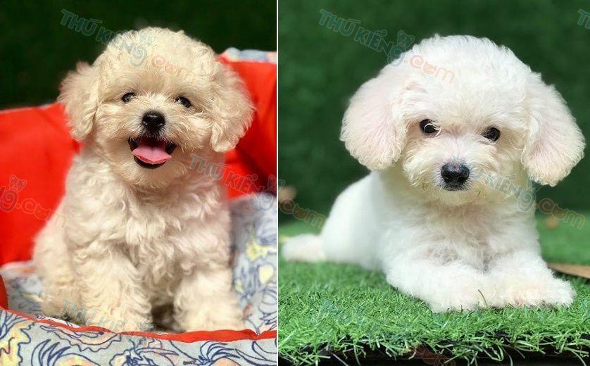 Giá chó Poodle Toy. Giá chó Poodle Tiny và chó Poodle Teacup