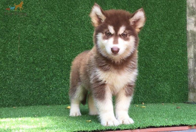 Đặc điểm chó Alaska thuần chủng. Phân biệt chó Alaska thuần chủng