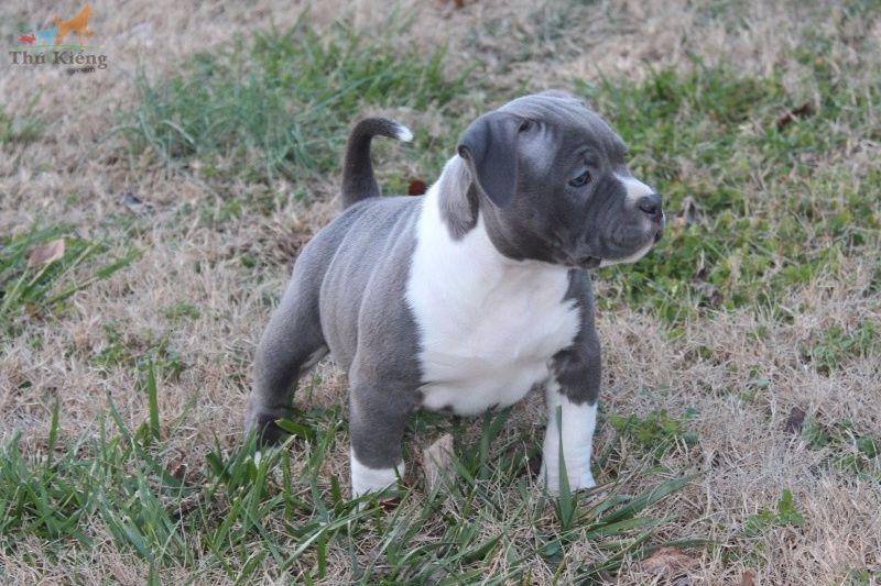 Chó American Bully - Giá mua, bán chó Bully & Nguồn gốc, đặc điểm chó Bully