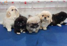 Giá chó Bắc Kinh. Mua bán chó Bắc Kinh - Thú Kiểng