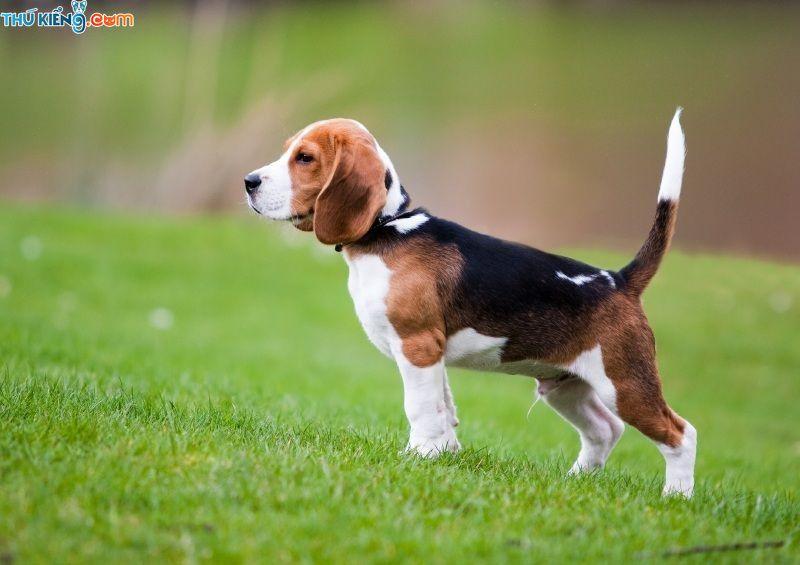 Mua bán chó Beagle giá bao nhiêu? Giá chó Beagle ở Hà Nội và TPHCM