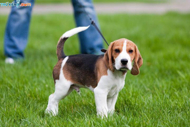 Giá chó Beagle. Mua chó Beagle. Bán chó Beagle ở Hà Nội, TPHCM