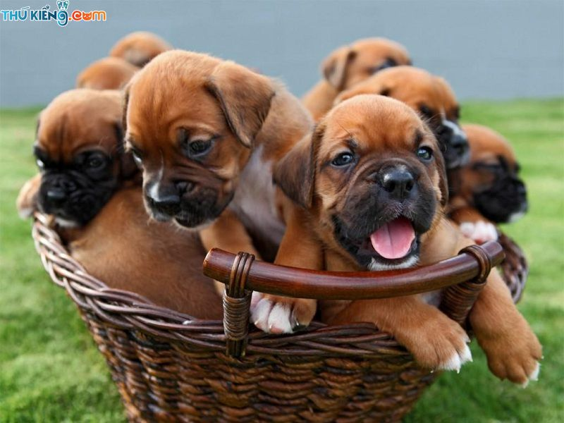 Giá chó Boxer thuần chủng. Mua bán chó Boxer ở Hà Nội và TPHCM