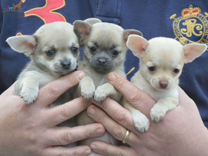 Giá chó Chihuahua   Mua, Bán chó Chihuahua thuần chủng giá bao nhiêu?