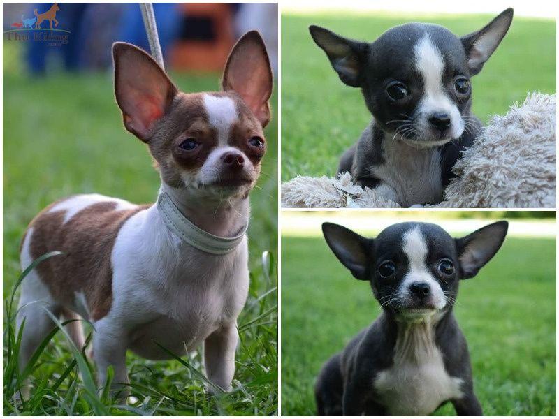 Giá chó Chihuahua | Mua, Bán chó Chihuahua thuần chủng giá bao nhiêu?