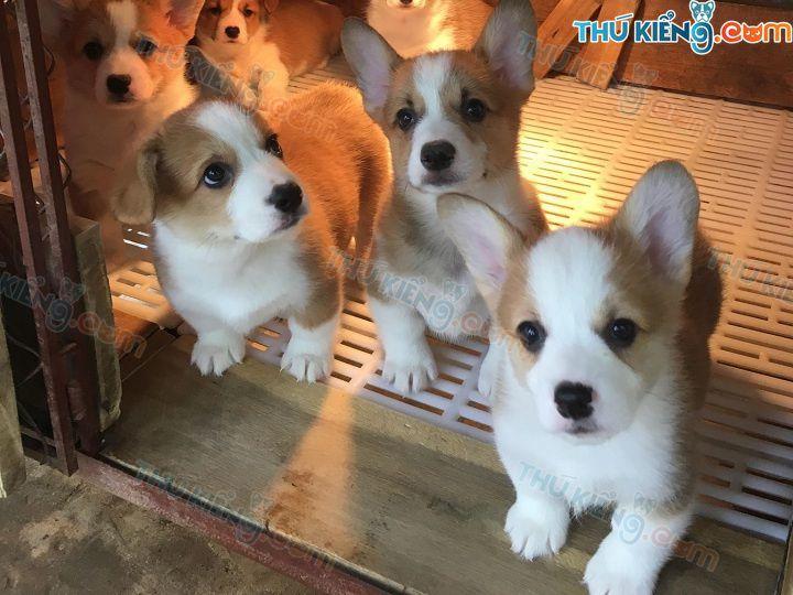 Giá chó Corgi. Mua bán chó Corgi Hà Nội, TPHCM giá bao nhiêu tiền?