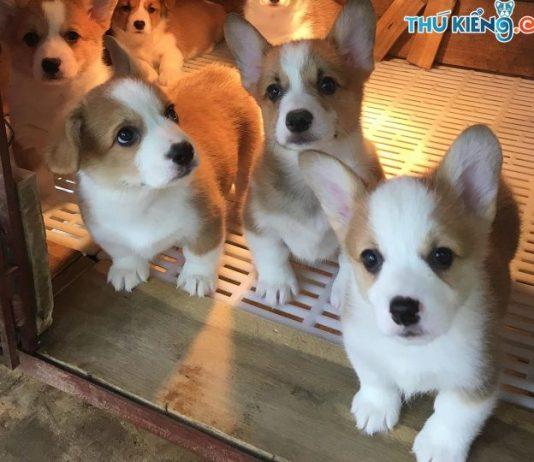 Mua chó Corgi giá bao nhiêu tiền? Giá bán chó Corgi ở Hà Nội, TPHCM
