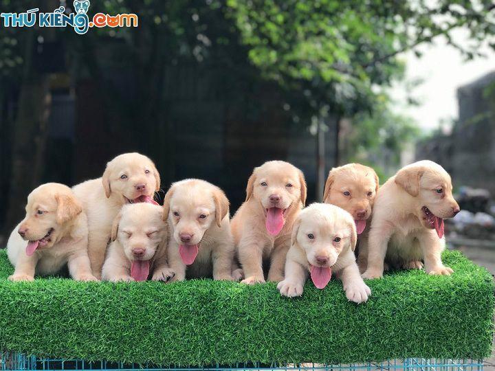 Giá chó Labrador thuần chủng. Mua bán chó Labrador giá bao nhiêu tiền