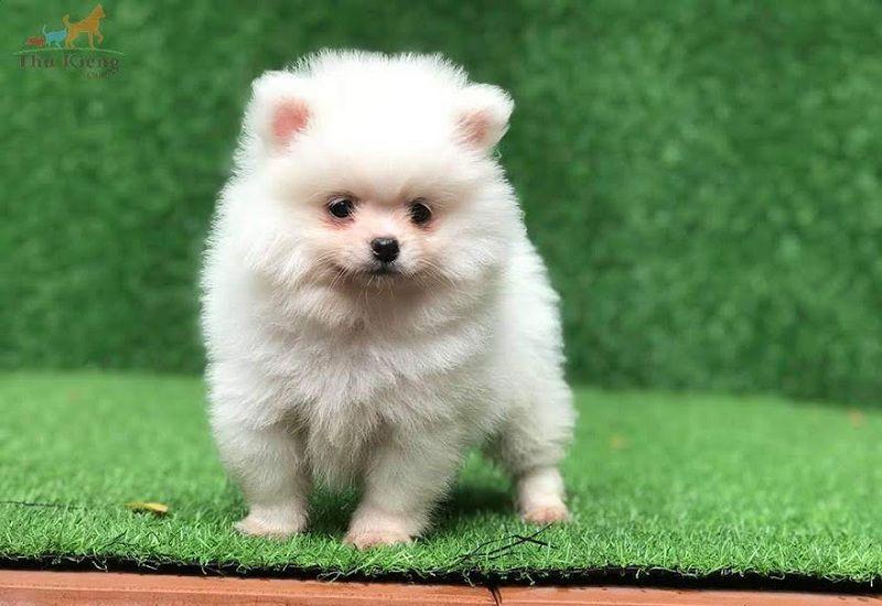Giống chó Phốc Sóc: Đặc điểm chó Phốc Sóc   Mua bán chó Phốc Sóc