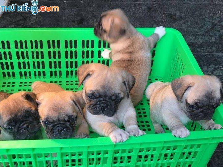 Giống chó Pug - Đặc điểm chó Pug | Giá mua bán chó Pug mặt xệ