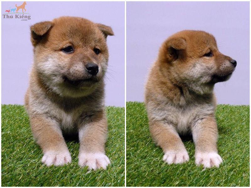 Giá chó Shiba Inu. Mua bán chó Shiba Inu - Thú Kiểng