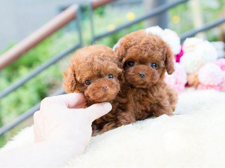 Giá mua bán chó Teacup Poodle. Cách nuôi chó Teacup Poodle