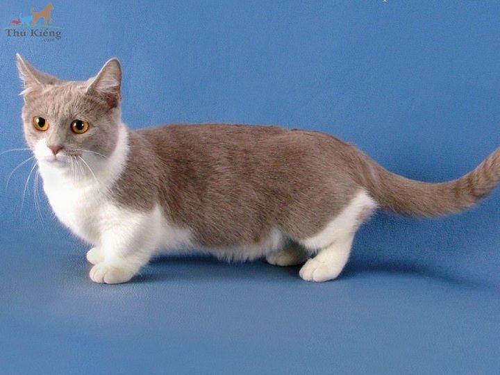 Mua bán mèo Munchkin - Thú Kiểng