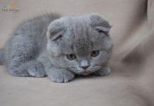 Mua bán mèo tai cụp Scotish Folde - Thú Kiểng