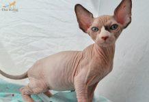 Mua bán mèo không lông Sphynx - Thú Kiểng