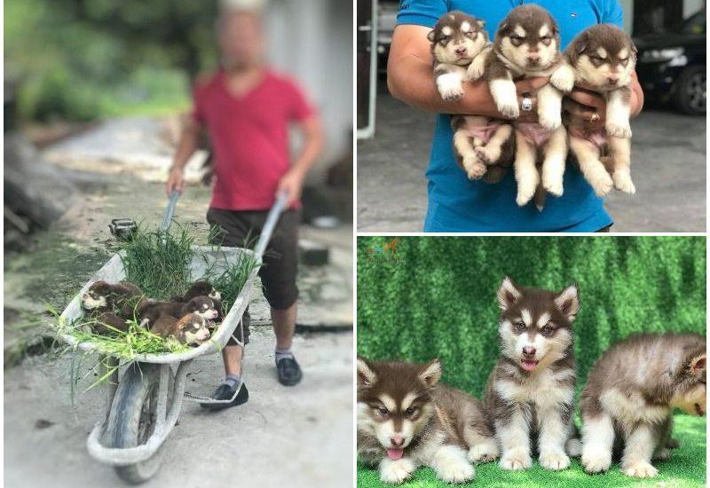Giá phối giống chó Alaska. Phối giống chó Alaska tại Hà Nội, TPHCM