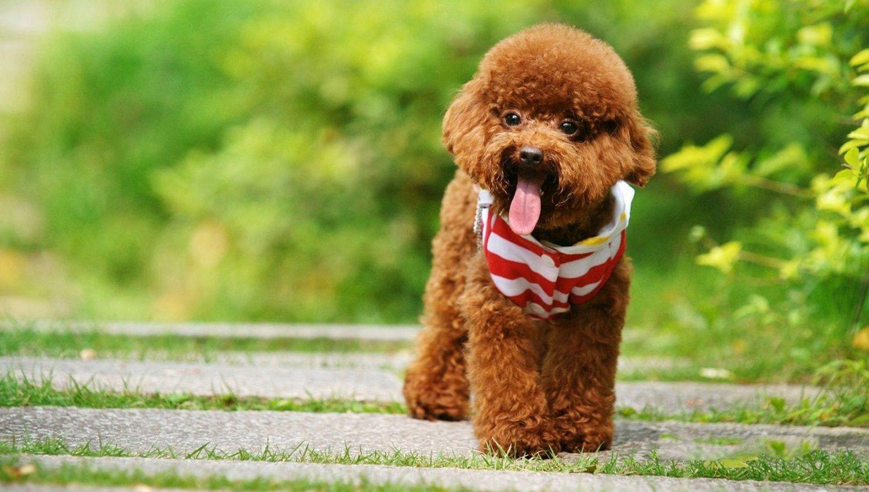 Ảnh chó Poodle đẹp. Ảnh chó Poodle cute. Ảnh chó Poodle dễ thương